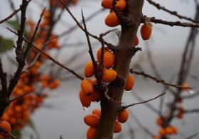 Podzimní rakytník